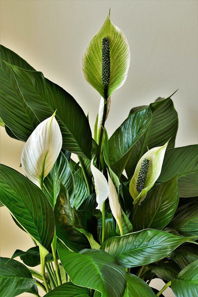 Einblatt, Spathiphyllum, Pflegeleichte Zimmerpflanzen, Luftverbesserer