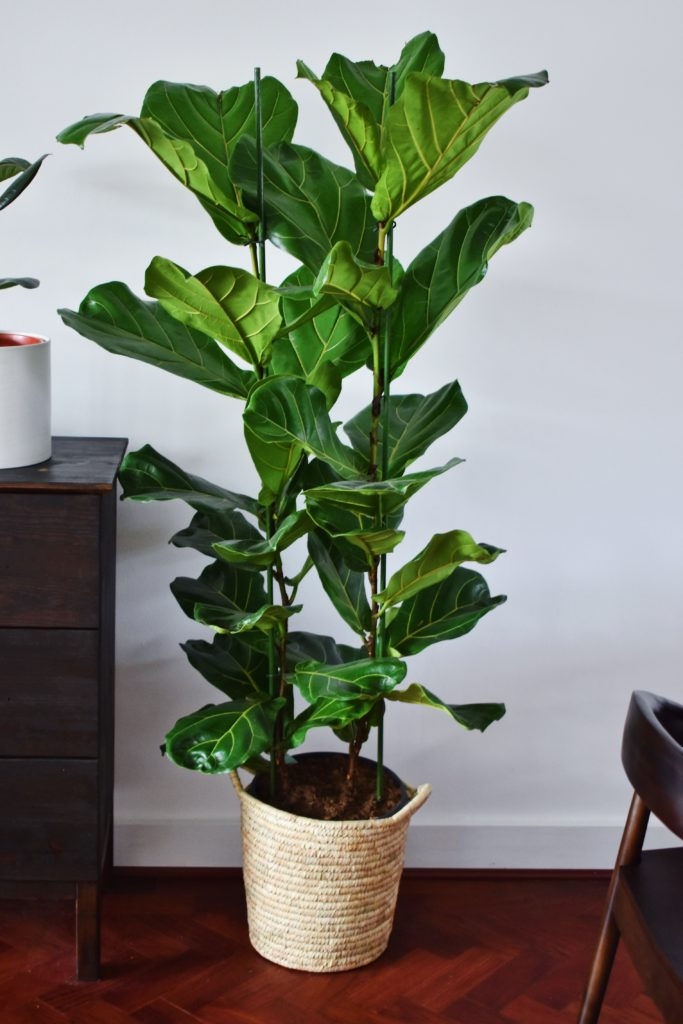 Zimmerpflanzen reinigen unsere Luft Geigenfeige