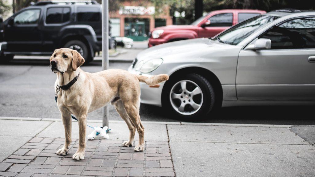 Labrador Retriever Hunderasse  Field-Trial-Labrador