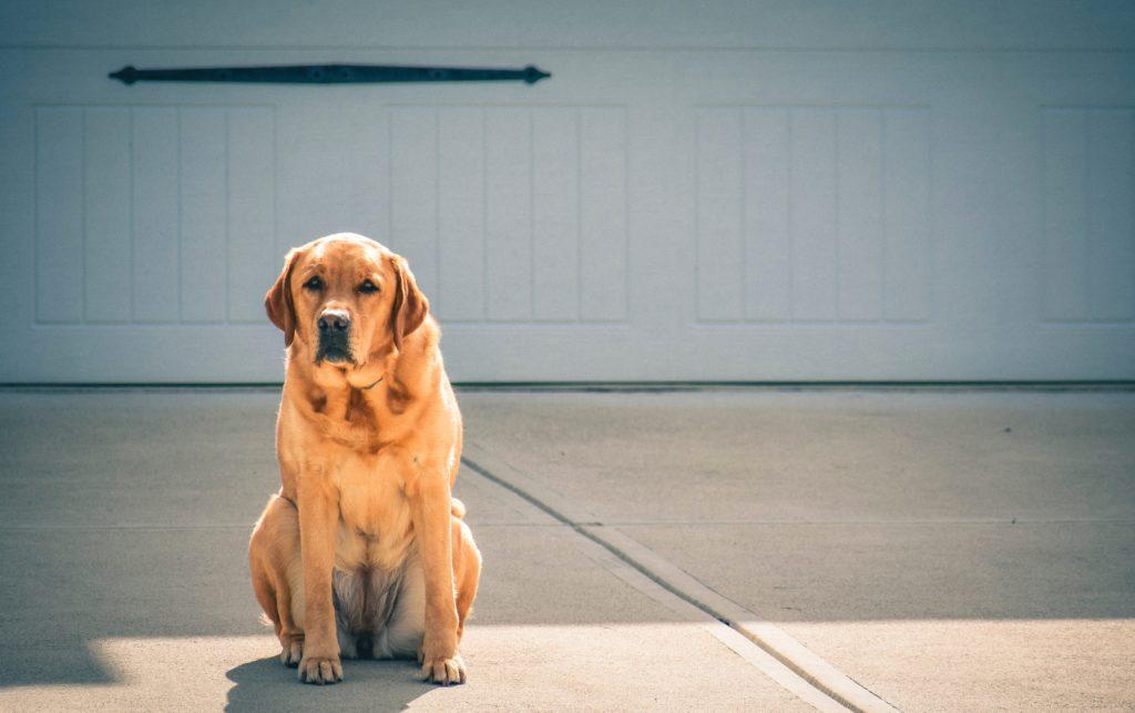 Der Labrador Retriever ist kein guter Wachhund
