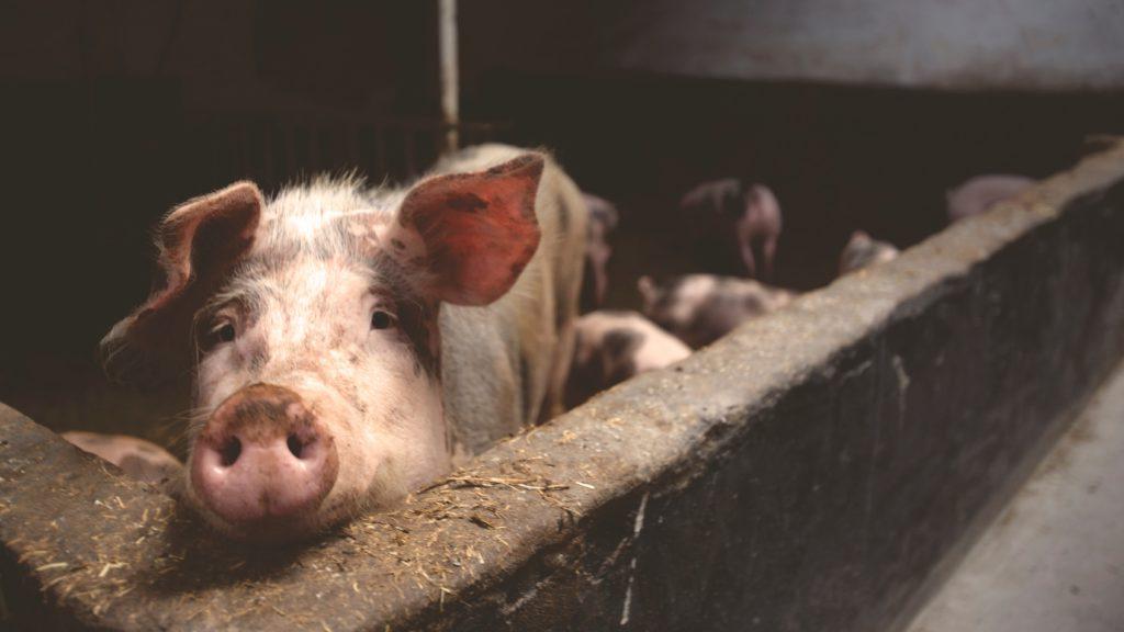 Warum wir weniger Fleisch essen sollten  Massentierhaltung